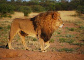 Fabulă: Bărbatul și leul