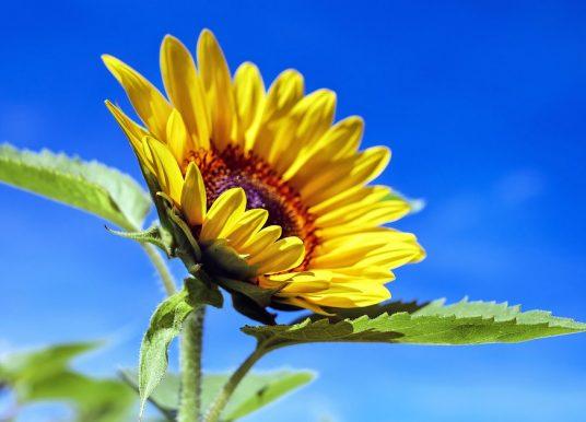 De ce se roteşte floarea-soarelui după soare și alte curiozități