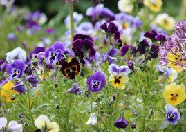 Lucruri inedite despre florile comestibile