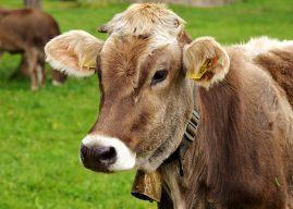 Hoțul care a furat o vacă