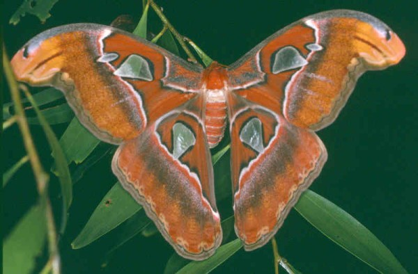 Brunei Attacus atlas.jpg