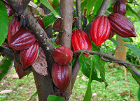 arborele-cacao.jpg
