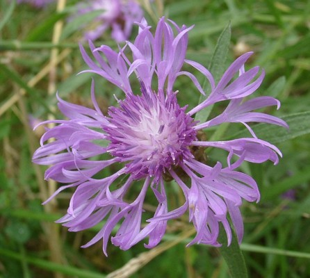 centaurea_jacea.jpg