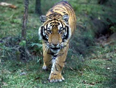 tigru3.jpg