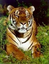 tigru4.jpg